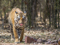Male royal bengal tiger Royalty Free Stock Photo