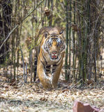 Male royal bengal tiger walking Stock Photo