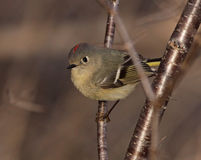Male Ruby-crowned Kinglet Stock Photography