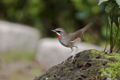 Male Ruby-throat,Luscinia calliope Royalty Free Stock Photo