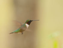Male Ruby throated Hummer(archilochus colubris) Royalty Free Stock Images