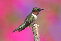 Male Ruby-throated Hummingbird Royalty Free Stock Photo