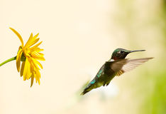 Male ruby throated hummingbird. Royalty Free Stock Photo