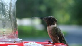 Male Ruby Throated Hummingbird, Archilochus colubris, arriving and eating at a red bird feeder. Gorgeous clip with soft blurred