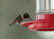 Male Ruby-throated Hummingbird (Archilochus colubris) Royalty Free Stock Image