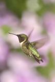 Male Ruby-throated Hummingbird & x28;archilochus colubris& x29;. In flight with a colorful floral background stock image