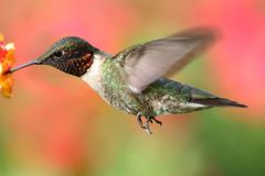 Male Ruby-throated Hummingbird & x28;archilochus colubris& x29;. In flight with a colorful floral background royalty free stock images