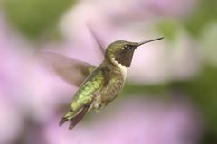 Male Ruby-throated Hummingbird & x28;archilochus colubris& x29;. In flight with a colorful floral background stock photos