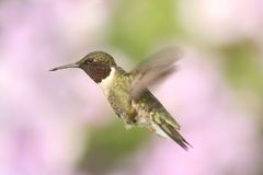 Male Ruby-throated Hummingbird & x28;archilochus colubris& x29;. In flight with a colorful floral background stock photo