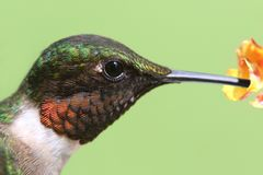 Male Ruby-throated Hummingbird & x28;archilochus colubris& x29;. In flight with a green background royalty free stock image