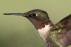 Male Ruby-throated Hummingbird & x28;archilochus colubris& x29;. In flight with a green background stock image