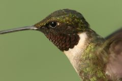 Male Ruby-throated Hummingbird & x28;archilochus colubris& x29;. In flight with a green background stock photos