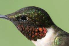 Male Ruby-throated Hummingbird & x28;archilochus colubris& x29;. In flight with a green background stock images