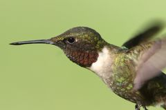 Male Ruby-throated Hummingbird & x28;archilochus colubris& x29;. In flight with a green background royalty free stock photos