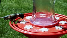Male ruby throated hummingbird, archilochus colubris, perches and drinks at bird feeder. Male ruby throated hummingbird, archilochus colubris, perches and stock video