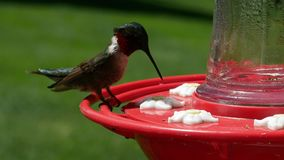 Male ruby throated hummingbird, archilochus colubris, perches and drinks at bird feeder. Male ruby throated hummingbird, archilochus colubris, perches and stock footage
