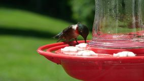Male ruby throated hummingbird, archilochus colubris, perches and drinks at bird feeder. Male ruby throated hummingbird, archilochus colubris, perches and stock video footage