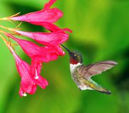 Male Ruby- throated Hummingbird Royalty Free Stock Photos