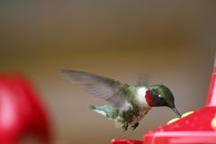 Male Ruby-throated Hummingbird at Feeder Royalty Free Stock Images