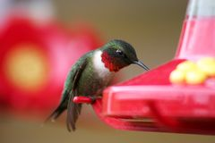 Male Ruby-throated Hummingbird at Feeder. A male Ruby-throated Hummingbird perched on a feeder drinking its sugar water in Northome, MN Royalty Free Stock Photo