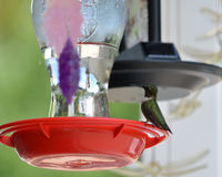 Male ruby throated hummingbird. A male ruby throated hummingbird sits on a perch of a feeder Stock Photography