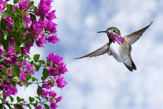 Male Ruby-throated Hummingbird over blue sky Stock Images