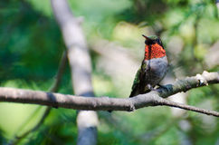 Male Ruby-Throated Hummingbird Perched in a Tree Royalty Free Stock Photos