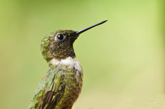 Male Ruby-Throated Hummingbird Profile Royalty Free Stock Photos