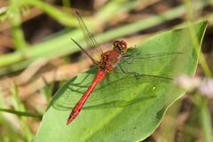 A male Ruddy Darter dragonfly in the morning sunshine. stock photo