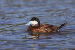 Male Ruddy Duck - San Diego, California. Male Ruddy Duck Oxyura jamaicensis - Santee Lakes, San Diego, California stock image