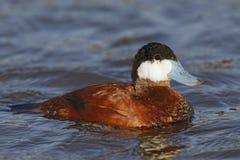 Male Ruddy Duck - Santee Lakes, San Diego, California. Male Ruddy Duck Oxyura jamaicensis swimming - Santee Lakes, San Diego, California stock images