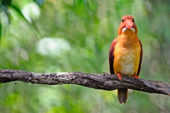 Male Ruddy Kingfisher Royalty Free Stock Images
