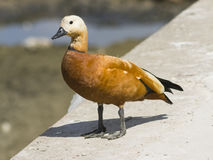 Male ruddy shelduck on concrete border of dry pond, portrait with bokeh background, selective focus. Male of ruddy shelduck on concrete border of dry pond Stock Images