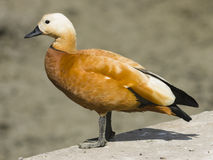 Male ruddy shelduck on concrete border of dry pond, portrait with bokeh background, selective focus. Male of ruddy shelduck on concrete border of dry pond Royalty Free Stock Images