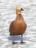 Male of ruddy shelduck on ice, selective focus. Shallow DOF Stock Image