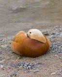 Male Ruddy shelduck Tadorna ferruginea resting on sand, selective focus, shallow DOF Stock Photo