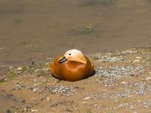 Male Ruddy shelduck Tadorna ferruginea resting on sand, selective focus, shallow DOF Royalty Free Stock Photos