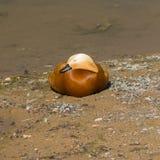 Male Ruddy shelduck Tadorna ferruginea sleeping on sand, selective focus, shallow DOF.  Royalty Free Stock Photos