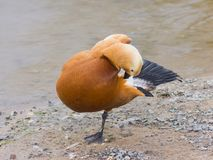 Male Ruddy shelduck Tadorna ferruginea standing on one leg and cleaning feathers, selective focus, shallow DOF.  Stock Photos