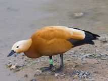 Male Ruddy shelduck Tadorna ferruginea standing on sand, selective focus, shallow DOF.  Royalty Free Stock Photo
