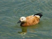 Male Ruddy shelduck Tadorna ferruginea swimming close-up portrait, selective focus, shallow DOF.  Royalty Free Stock Image
