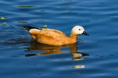 Male Ruddy shelduck Tadorna ferruginea swimming close-up portrait, selective focus, shallow DOF Stock Images