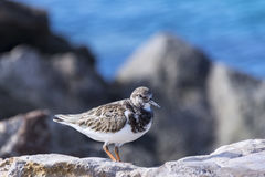 A male ruddy turnstone Arenaria interpres stock photography