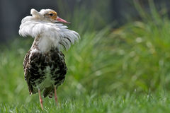 Male Ruff Royalty Free Stock Photography