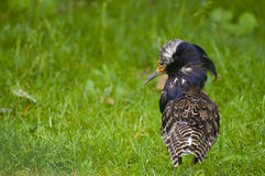 Male ruff Stock Image