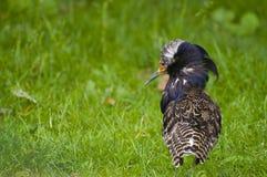 Male ruff. In breeding plumage Stock Image