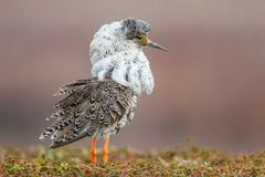 Ruff. Male Ruff In Elaborate Breeding Plumage With Head Tufts and Neck Collar Standing On Lek, Photographed Near Badsfjord, Norway Stock Photos