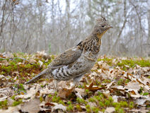 Male Ruffed Grouse Stock Image