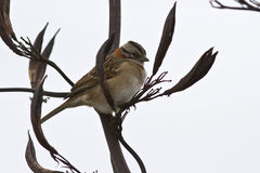 Male Rufous-collared Sparrow sitting on a branch of a bush 1 stock images