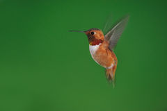 Male rufous Hummingbird royalty free stock image